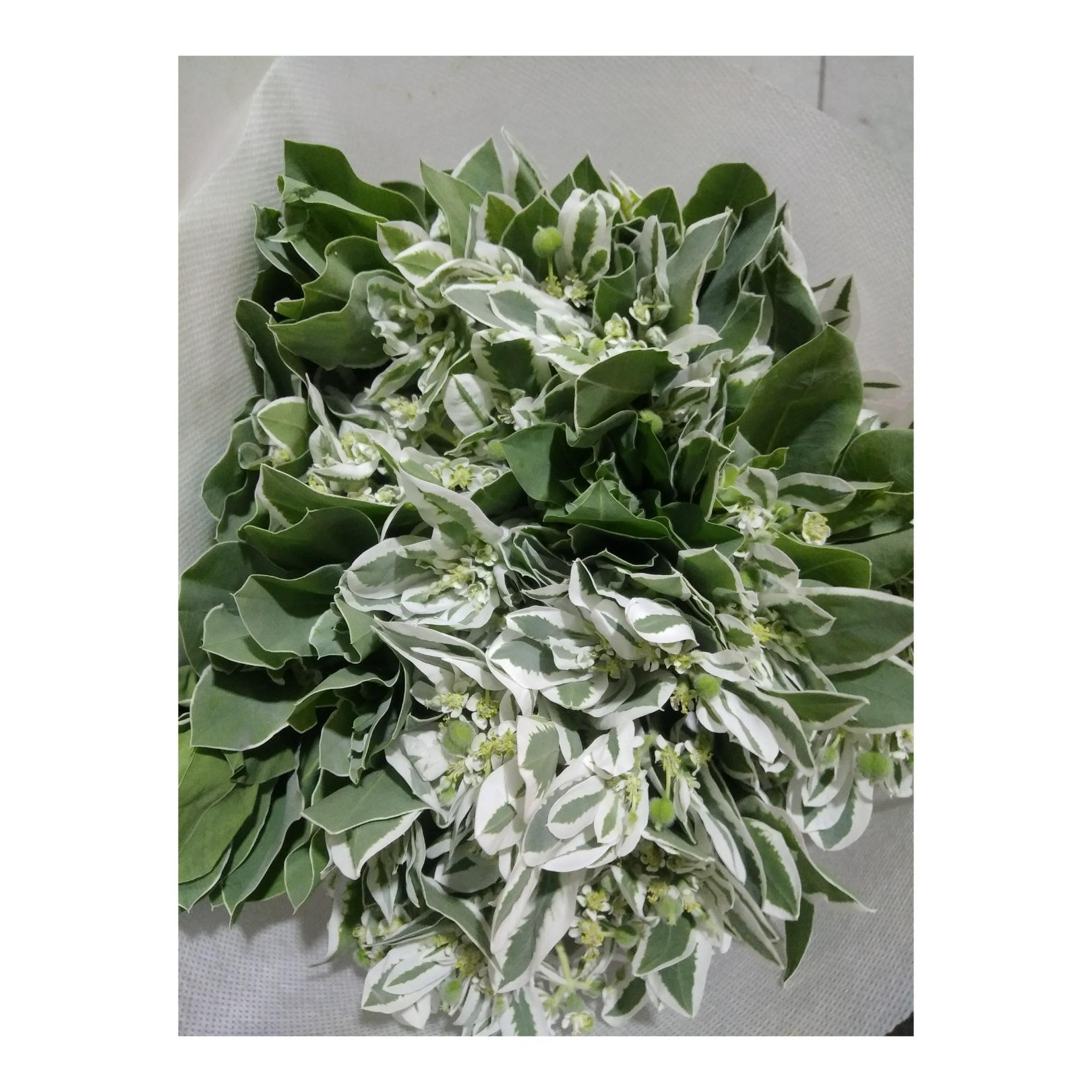 北京竹兰朵_24hua鲜花—您值得信赖的进口鲜花供应品牌